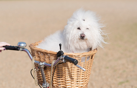 bichon bolognese: Beautiful and adorable bichon frise dog sitting in the basket