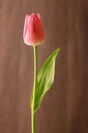 red tulip: Fresh red tulip flower on wooden background