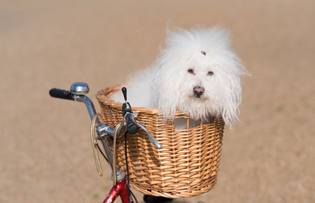 Beautiful and adorable bichon frise dog sitting in the basket