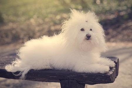 bichon bolognese: Bichon havanese dog on banch in the park. Vintage view