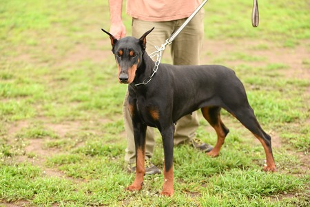 doberman: Doberman pinscher with owner in the park