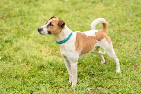 russel: Jack russel terrier in the green field Stock Photo