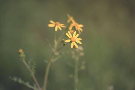 Wildflower: Closeup photo of yellow wildflower in the nature Stock Photo