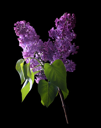 Lilac flower isolated on a black background