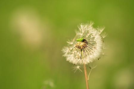 chorthippus: Closeup photo of a mini grasshopper on dandelion seeds Stock Photo