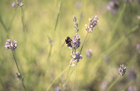 bumble bee: Bumble bee on lavender flower a summer day Stock Photo