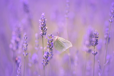 free backgrounds: Butterfly on lavender flower closeup photo Stock Photo