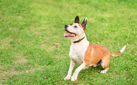 american staffordshire terrier: American Staffordshire Terrier in a green grass lawn