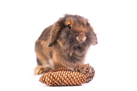 lop lop rabbit white: Brown French Lop rabbit isolated on a white background Stock Photo