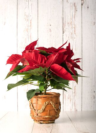 christmas plant: Red poinsettia christmas plant on wooden background Stock Photo