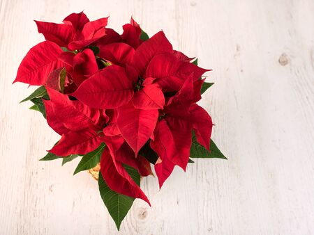 christmas plant: Red poinsettia christmas plant on white wooden background