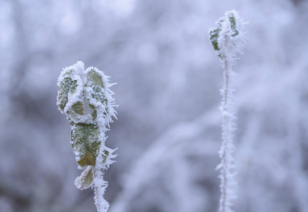 Frozen plants in winters day with the hoar frost