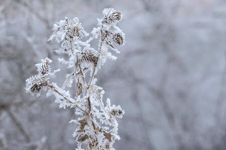 winters: Frozen plants in a winters day with the hoar-frost Stock Photo