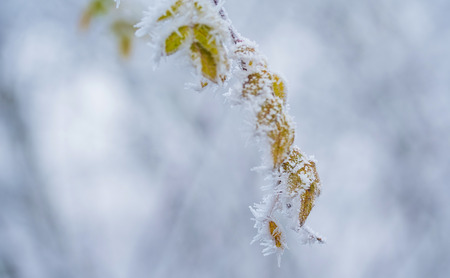 Frozen plants in a winters day with the hoar-frost Stock Photo