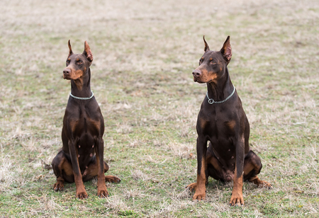 Doberman pinscher poses for the camera. Outdoor photo