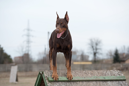 Brown Doberman pinscher in training. Outdoor photo