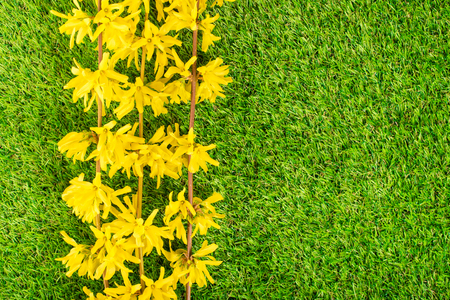 Beauty forsythia branch on green grass background Stock Photo