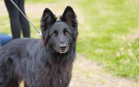 Black German shepherd dog in the park