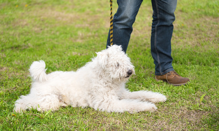 Hungarian Kuvasz dog in the park with owner
