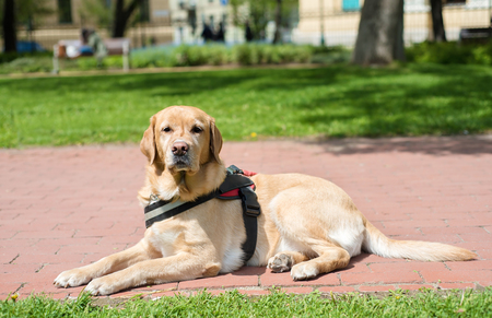 Guide dog is resting in the park. Labrador dog Stock Photo