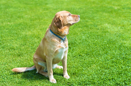 Adorable labrador dog sitting in the green park