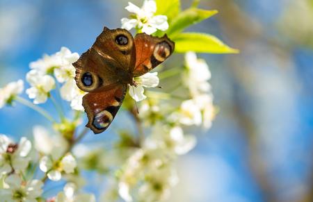 io: Closeup photo of a butterfly on flower (Aglais io)