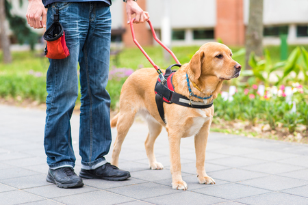 Guide dog is helping a blind man in the city