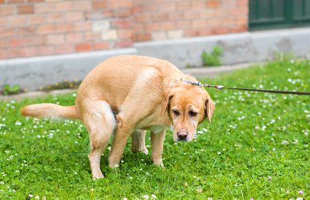 緑豊かな公園のラブラドル ・ レトリーバー犬犬 poops