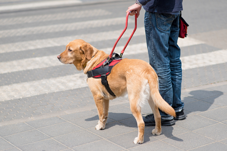 Guide dog is helping a blind man, on pedestrian crossing