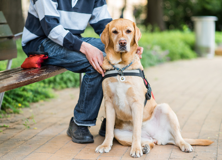 Guide Labrador dog is relaxing with owner in the park