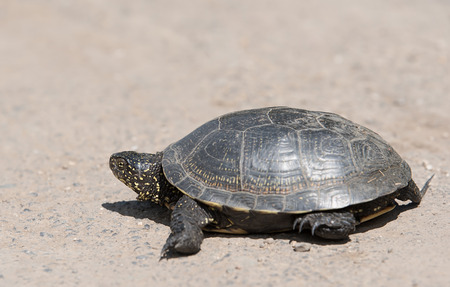 Tortoise walking slowly on the road with his protective shell Foto de archivo