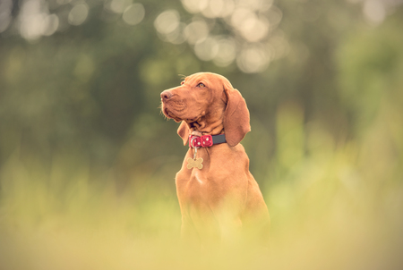Beautiful hungarian vizsla dog sitting in the green