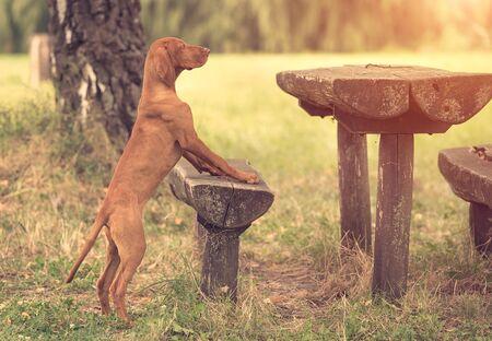 Vintage photo of a hungarian vizsla dog in the park