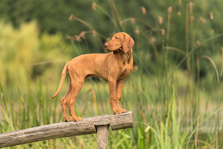 Beautiful hungarian vizsla pose on the wooden bench