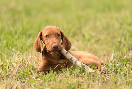 Hungarian vizsla dog play with a stick in the park Stock Photo