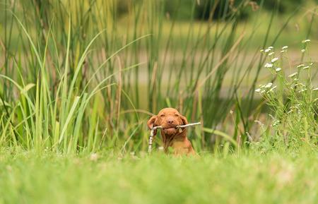 Hungarian Vizsla dog play a stick in the nature