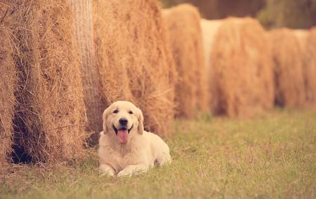 Beauty Golden retriever dog relaxing in the park