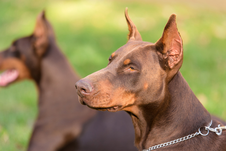 Closeup portrait of Doberman Pinscher dog in the park