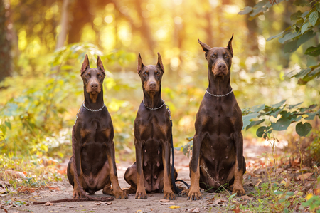 Three Doberman Pincher relaxing in the autumn park Stock Photo