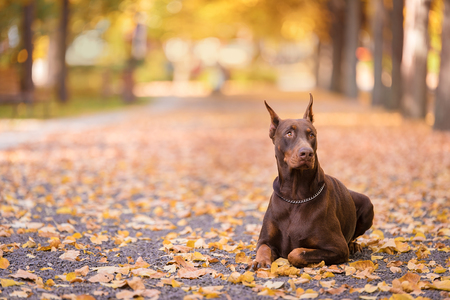 Doberman Pinscher resting in the autumn park