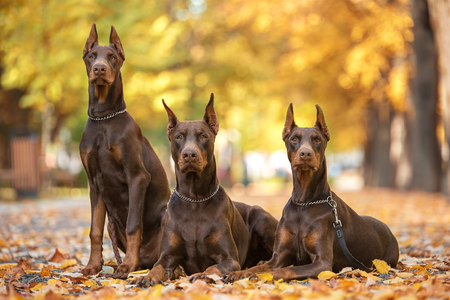 Three Doberman Pincher relaxing in the autumn park Stockfoto