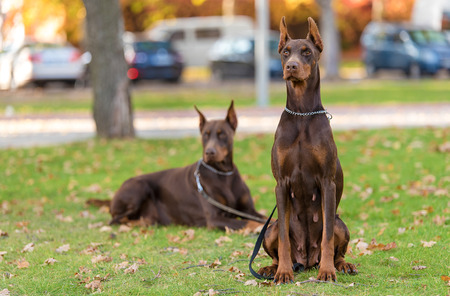 Doberman Pinscher resting in the green park