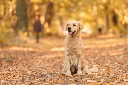 Beauty Golden Retriever dog relaxing in autumn park