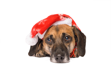 Dog in a christmas hat isolated on a white background Banco de Imagens