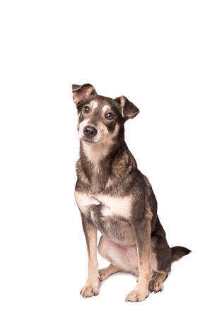 Closeup portrait photo of an adorable mongrel dog isolated on white Standard-Bild