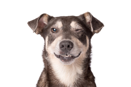 Closeup portrait photo of an adorable mongrel dog isolated on white Stockfoto