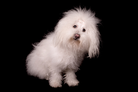 Bichon bolognese dog isolated on a black background Stock fotó