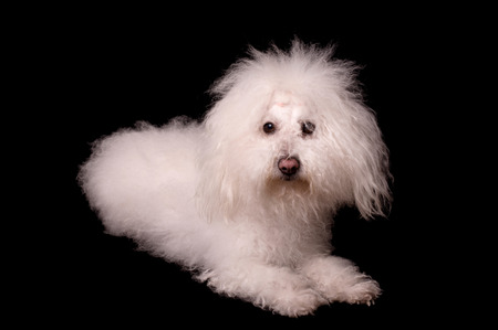 Bichon bolognese dog isolated on a black background Stock Photo