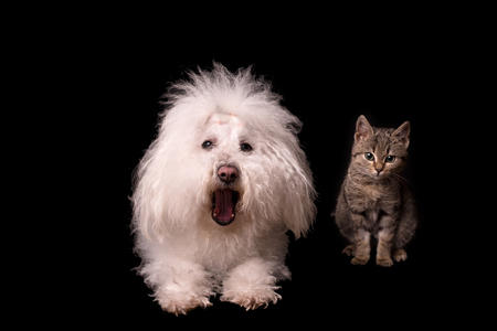 Bichon bolognese dog and cat isolated on a black background