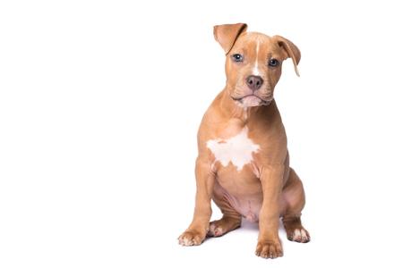 흰색 배경에 아메리칸 스 태 포드 셔 테리어 강아지 스톡 콘텐츠
